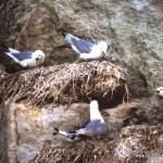 Möwen-Nester in den Felsen