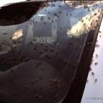 Schwebfliegen-Invasion