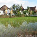 Spiegelung im Reisfeld