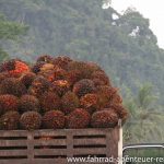 Palmöl- Ernte der Palmfrüchte