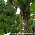 Bananenstauden in Malaysia