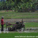 Reisanbau in Malaysia