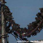 Asiatische Taubenpopulation