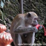 Affen auf Beutezug an den Batu Caves