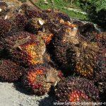 Palmöl-Ernte
