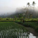 Reisfelder bei Liwa