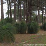 Grasbäume in Australien