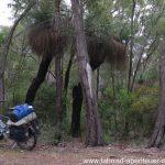 der Grasbaum