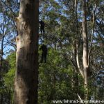 Glouchester Tree in Australien