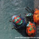 bunte Käfer in Australien