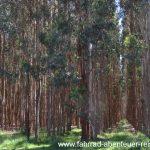 Blue Gum Plantagen
