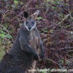 Wallaby in Australien