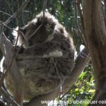 Koala in Kennett River