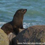Seehund-Kolonie bei Moeraki