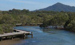 Urunga - Mangrovenbäume