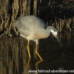 Vogelwelt in den Mangroven