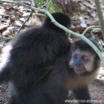 Affen an den Iguazú-Wasserfällen