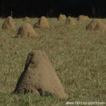 Termitenhügel in Paraguay