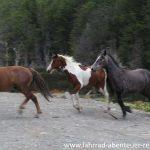 Wildpferde in Patagonien
