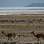 Lamas am Salar de Uyuni