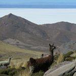 Lamas am Vulkan Tunupa
