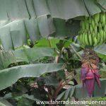 Bananenstaude in Ecuador