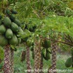 Papaya Plantage