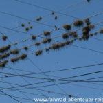 Luftnelken in Südamerika