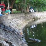 Krokodil im Parque Tomás Garrido Canabal