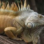 Leguane in Mexiko