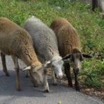 Schafe in Mexiko